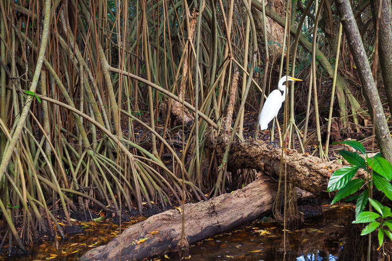 White heron in wild tropical forest, mangrove trees stock photos
