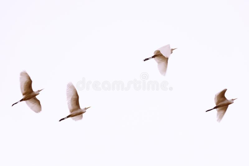 White herons flying. Blurred photo with birds in motion. Beautiful birds flying. Background. Copy space. Toned in pastel sepia colors stock images