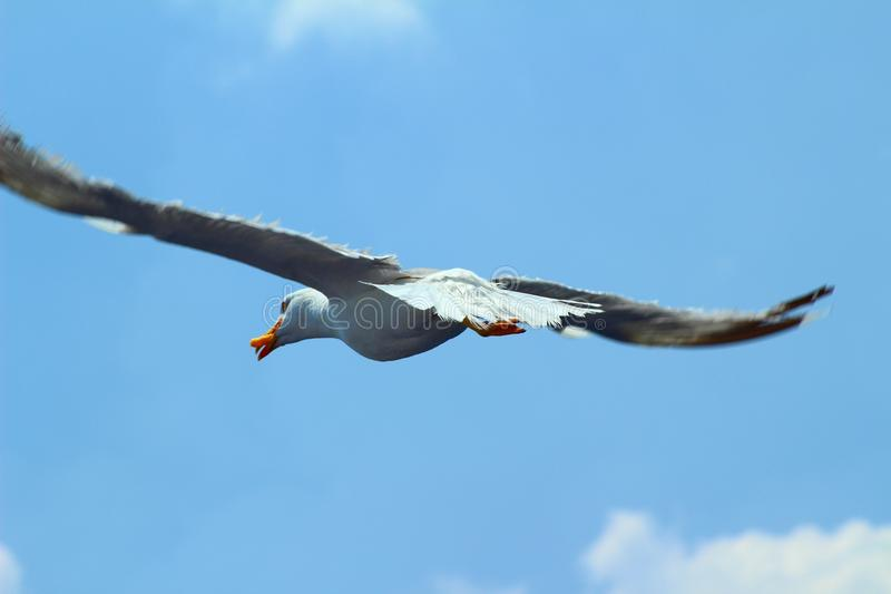 The white herring-gull. A white herring-gull flying in the sky over a ferry boat after getting food from the passangers stock image