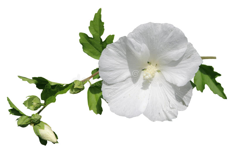 White hibiscus stock photography