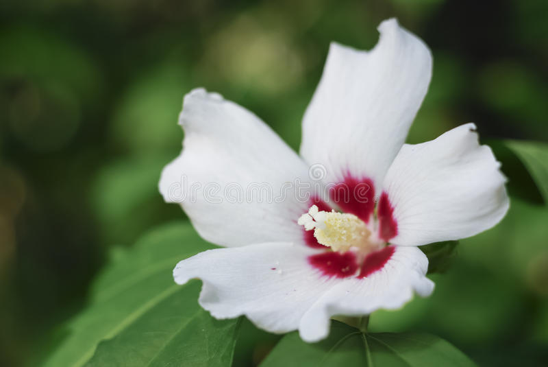 White hibiscus cannabinus stock photo