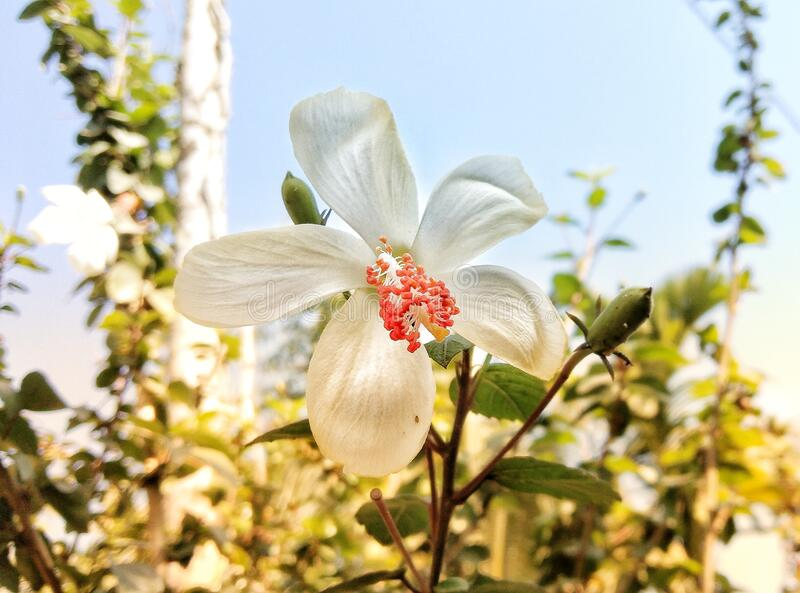 White hibiscus Flower blossoming in the garden background landscape stock photo
