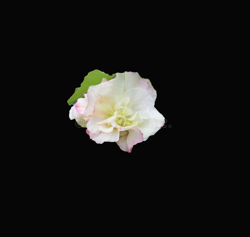 White Hibiscus flower centered on a dramatic black background. This white phase of the hibiscus mutabilis flower is isolated and centered on a dramatic black stock photo