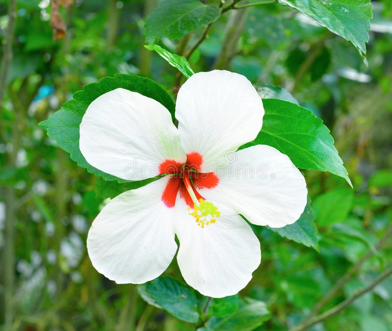 White hibiscus flower on a green background. In the tropical garden royalty free stock image