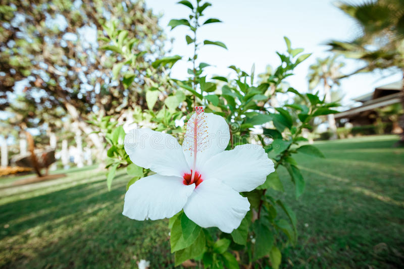 White hibiscus flower royalty free stock photos