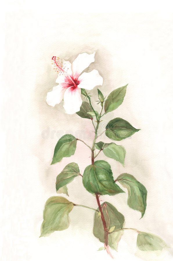 White hibiscus flower watercolor painting royalty free illustration