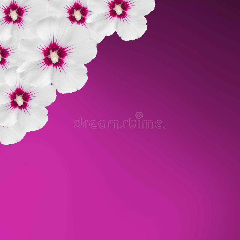 White hibiscus flowers, Hibiscus rosa-sinensis, hibiscus chinese, known as rose mallow, mauve texture background, close up. royalty free stock images