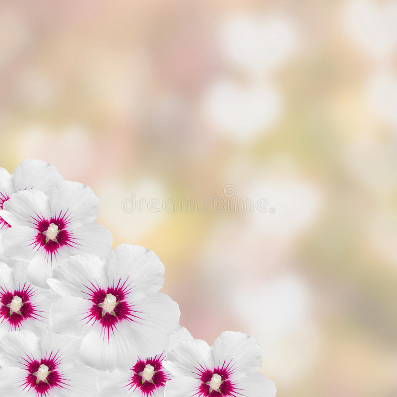 White hibiscus flowers, Hibiscus rosa-sinensis, hibiscus chinese, known as rose mallow, pink texture background, close up. stock images
