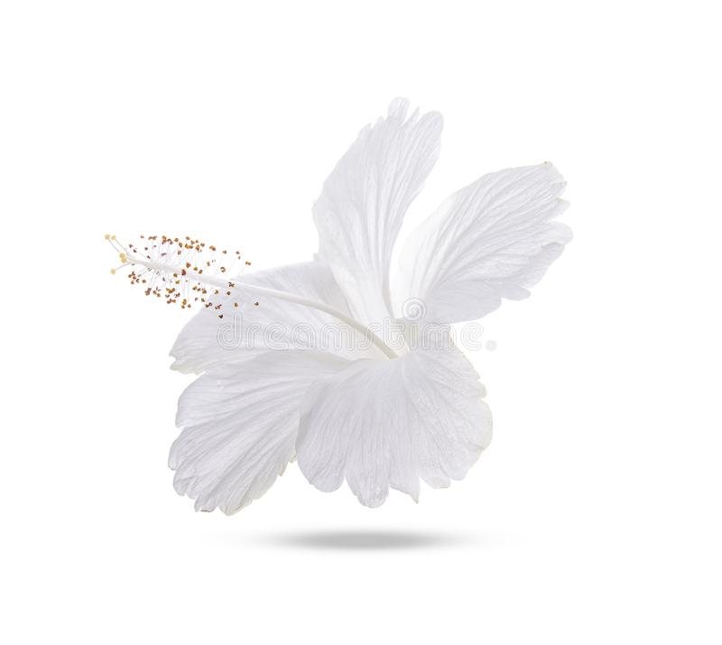 White hibiscus isolated on white background stock photos