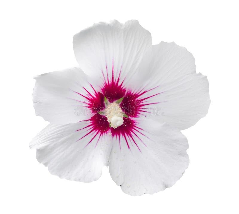 White Hibiscus rosa-chinensis flower stock photo