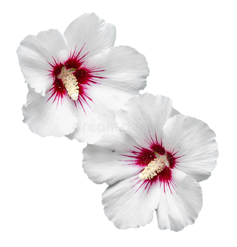 White Hibiscus rosa-chinensis flower royalty free stock image
