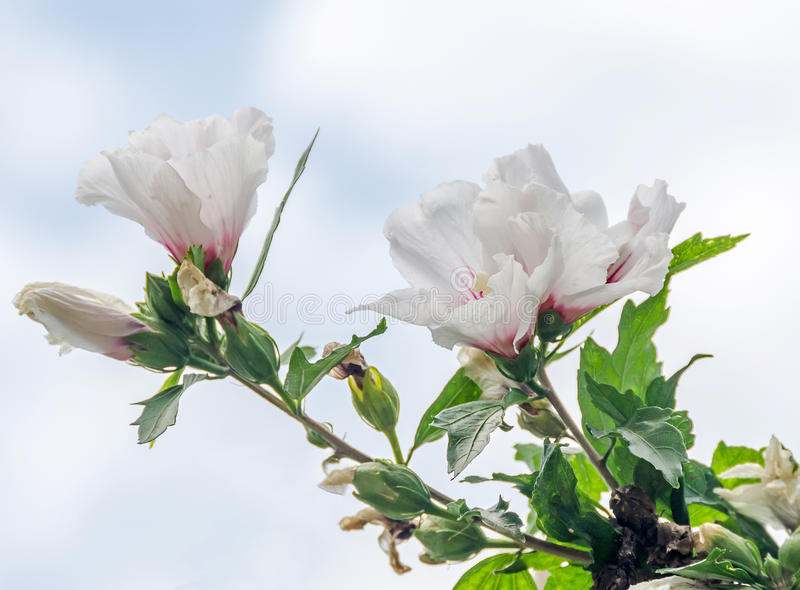 White Hibiscus rosa-chinensis flowers royalty free stock photos