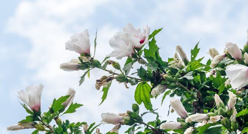 White Hibiscus rosa-chinensis flowers stock image