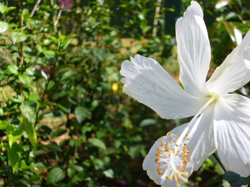 White Hibiscus- Shoeflower royalty free stock photo
