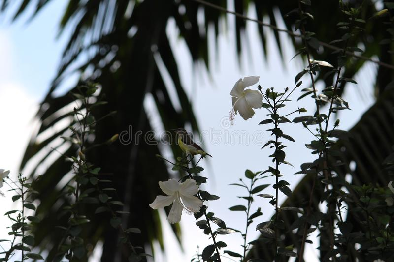 White hibiscus and a weaver bird on the show. Shadow image with the green leaves background looks elegant and natural royalty free stock photography