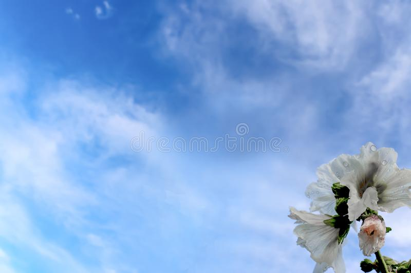 White hollyhawk with rain drops against a blue sky with whispy clouds - background - room for text stock photo