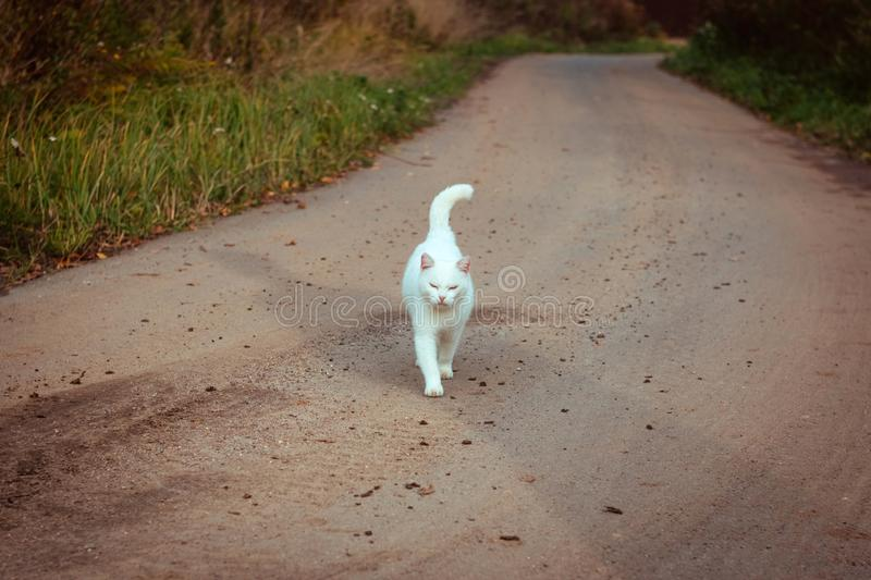 White homeless beautiful cat walking on the road, staring and squinting. A lonely stray cat is looking for a house and a owner royalty free stock photography
