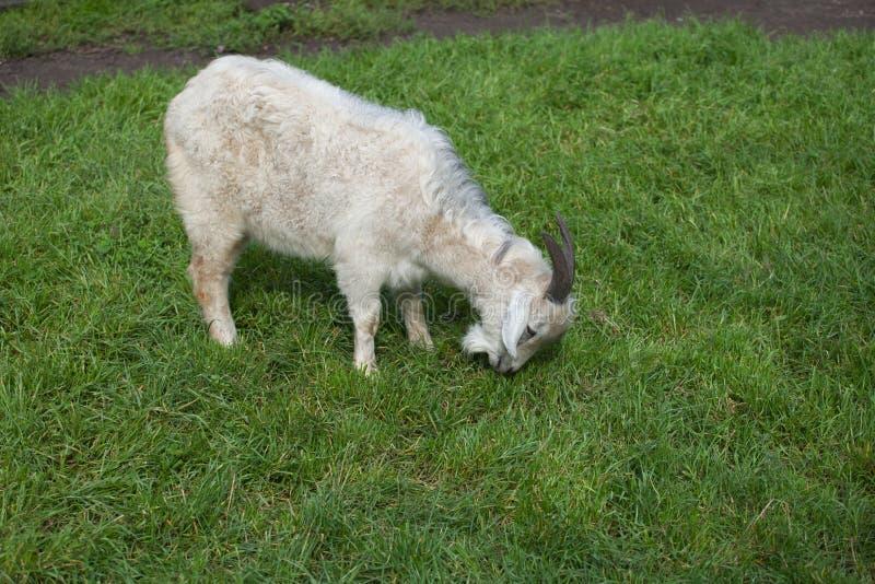 white homemade goat stock photos