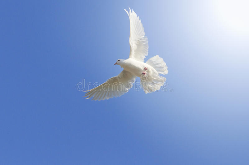 White homing pigeon among the blue sky with sunny hotspot from right royalty free stock photography