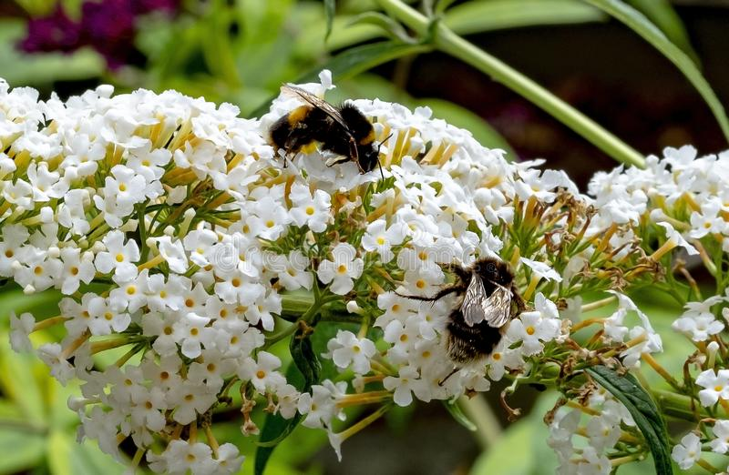 White honey pot for bees. View of a white Buddleia in full bloom being pollinated by a bees stock photography