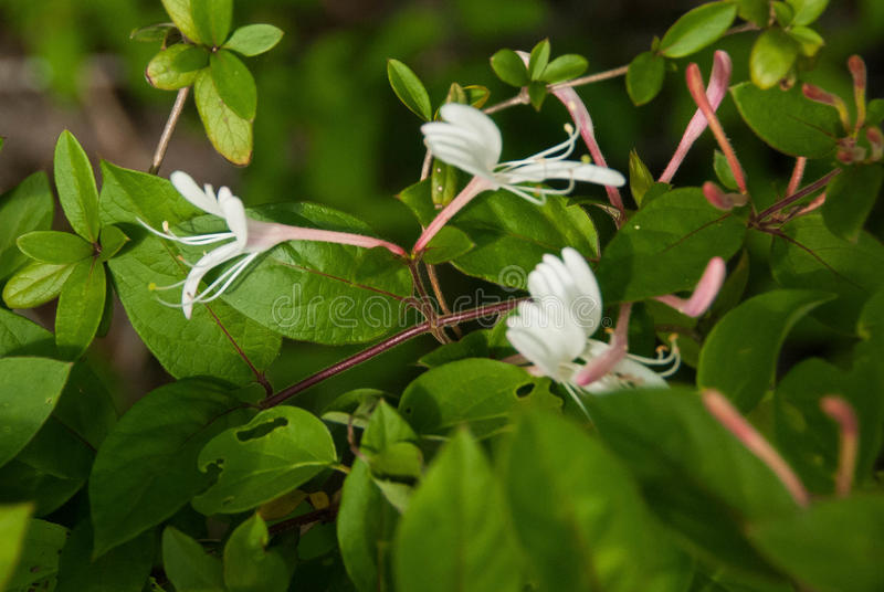 White Honeysuckle, green leaves, Lot of Sun stock photo