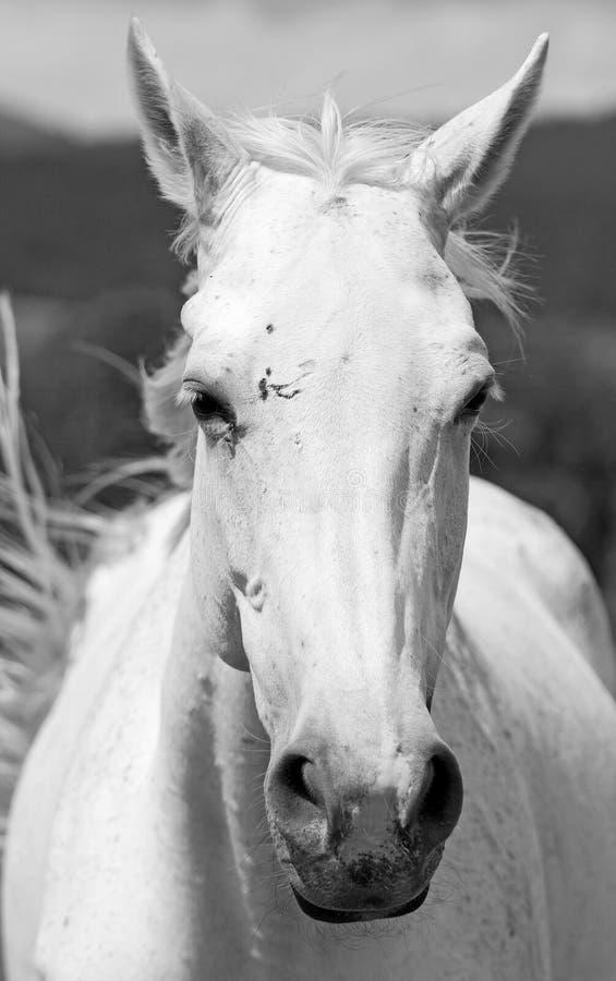White horse. Big head of white horse stock photos