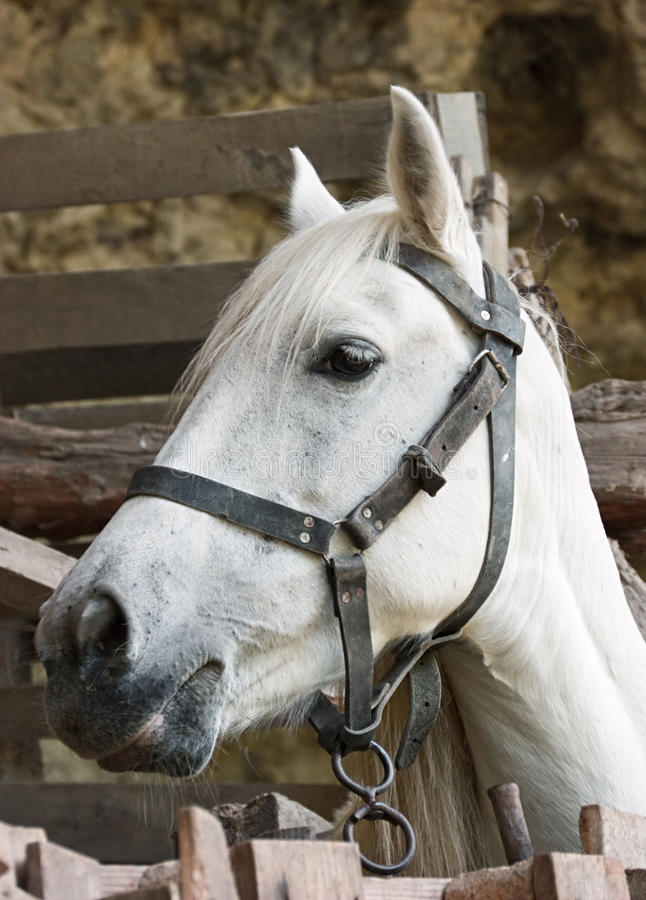 White horse. Profile of the white horse stock photography