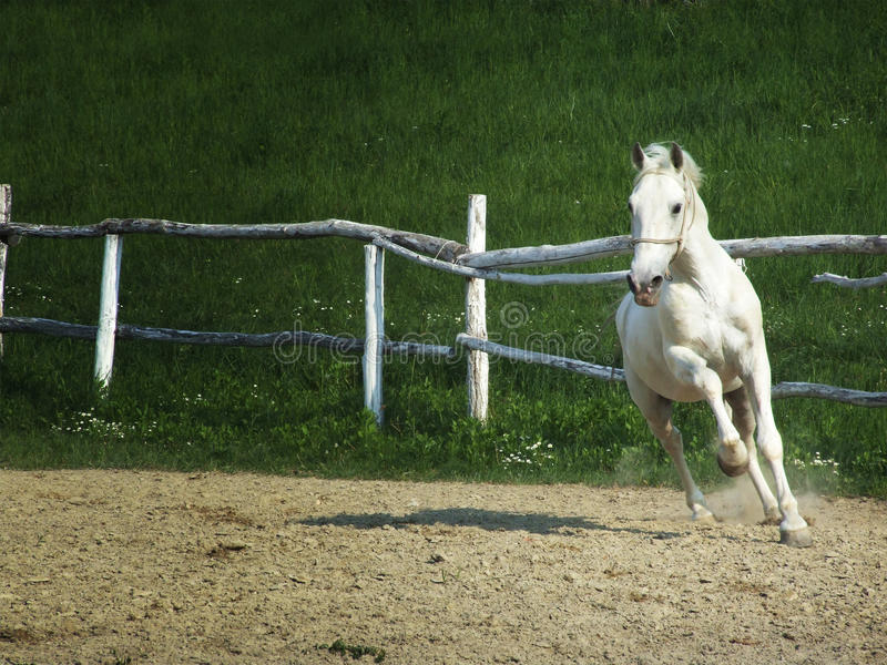 Download White horse stock photo. Image of wild, pasture, outdoors - 12187710