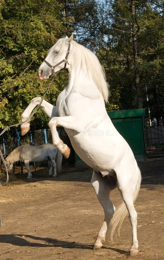 Free White Horse Stock Photography - 16592192