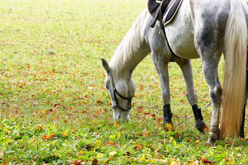 White horse. In the autumn royalty free stock photos