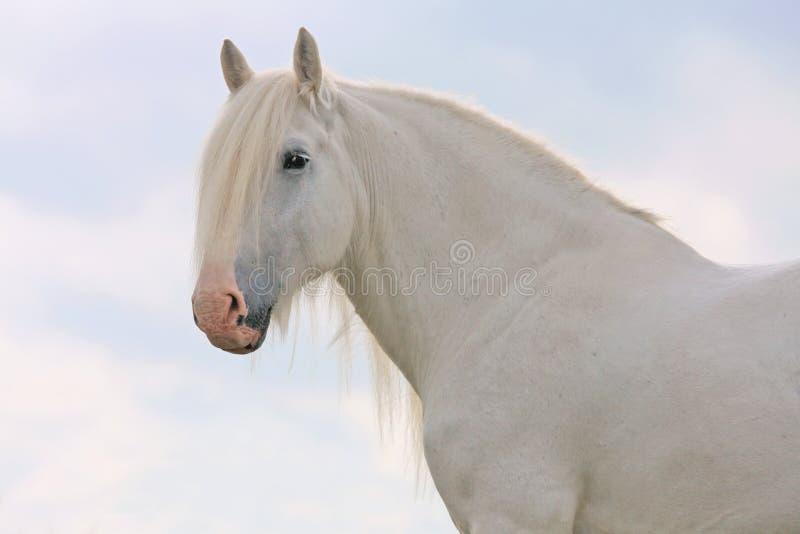 Download White horse stock image. Image of mane, percheron, pferde - 18516585