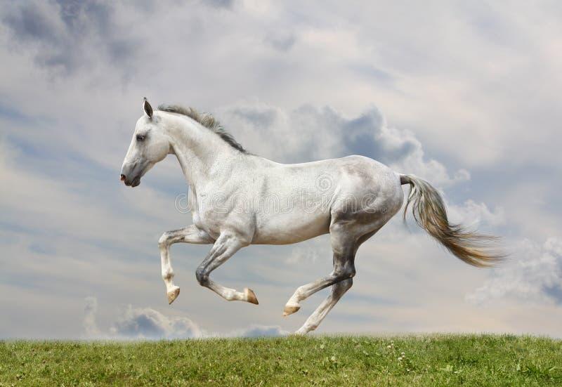 Download White horse stock image. Image of dresser, dressing, pony - 18673137