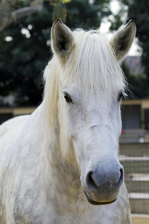 Download White horse stock image. Image of domestic, color, gray - 22927403