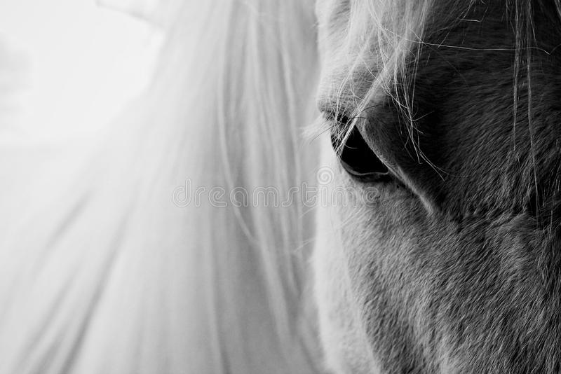 White horse. Looking in to the eyes of a beautiful white horse