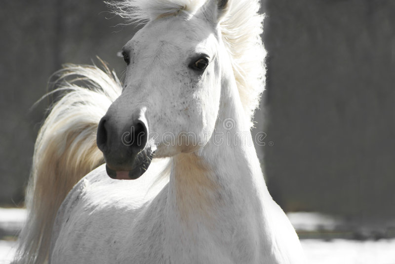 White horse. Beautiful white horse on a neutral background stock photos