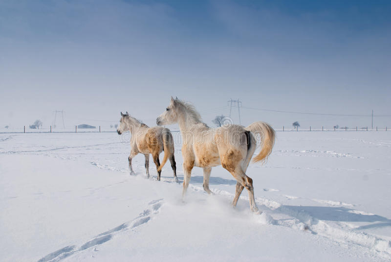 Download White Horse Stock Images - Image: 26141174