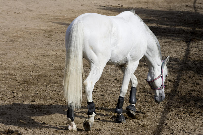 Download White horse stock photo. Image of mare, countryside, race - 26751856