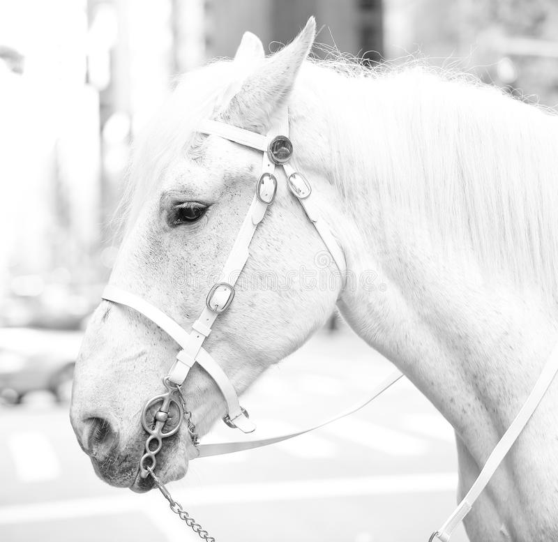 Free White Horse Royalty Free Stock Photos - 31375988