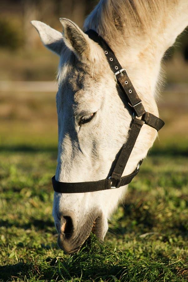 Free White Horse Stock Photos - 33390553
