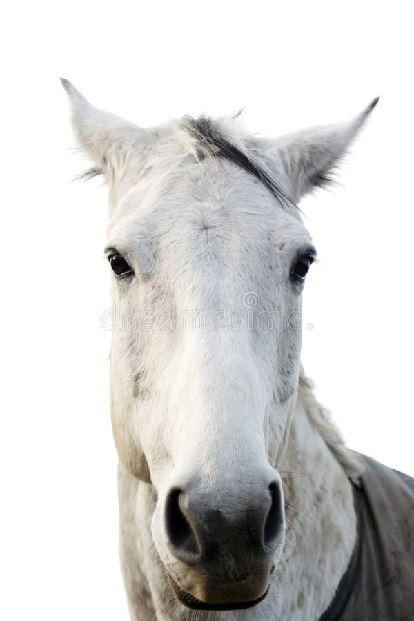 Download White horse stock photo. Image of friend, mammal, white - 4425106