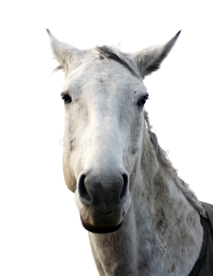Download White horse stock photo. Image of hair, farm, animal, head - 4954496