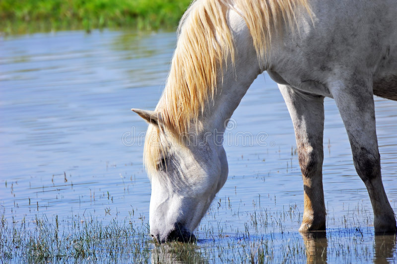 Download White horse stock image. Image of pond, equine, animal - 5292223