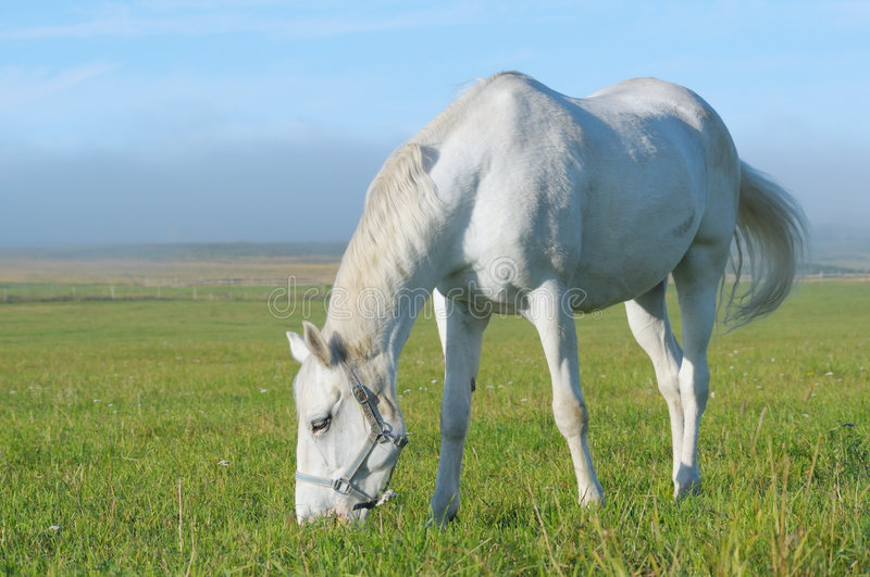 Download White Horse Stock Photos - Image: 7169723