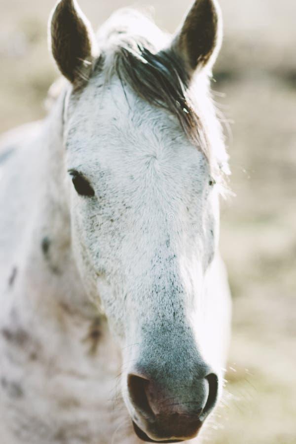 White Horse Animal portrait. Close up pasture royalty free stock image