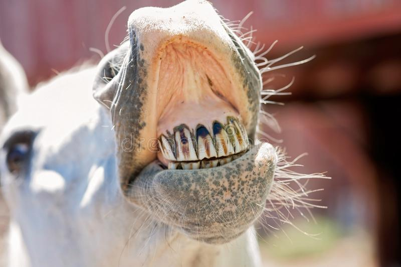 White Horse Baring Its Teeth. A close-up shot of a white, Arabian horse baring its teeth royalty free stock images