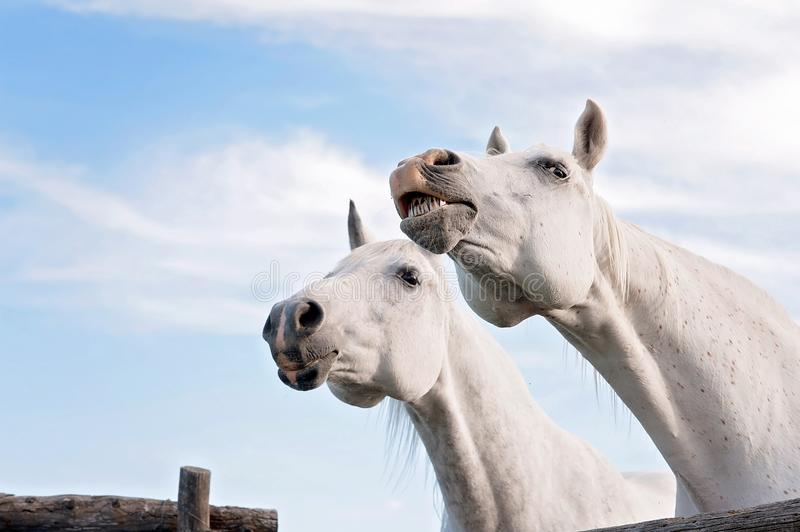 White Horse Baring Its Teeth. A head shot of two white, Arabian horses. One is baring its teeth royalty free stock photos