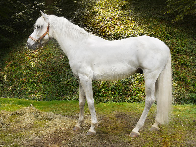 Horse Rearing Up Stock Photos and Pictures | Getty Images |White Horse Standing Up