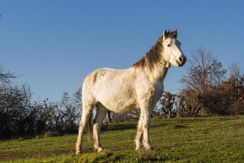 White horse with a bell. Young white horse with a sliver ruff royalty free stock photos