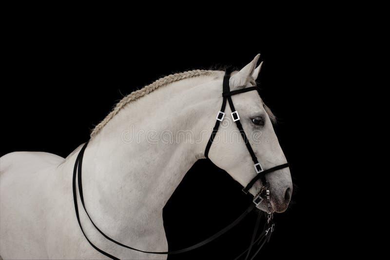 White horse on black stock photo