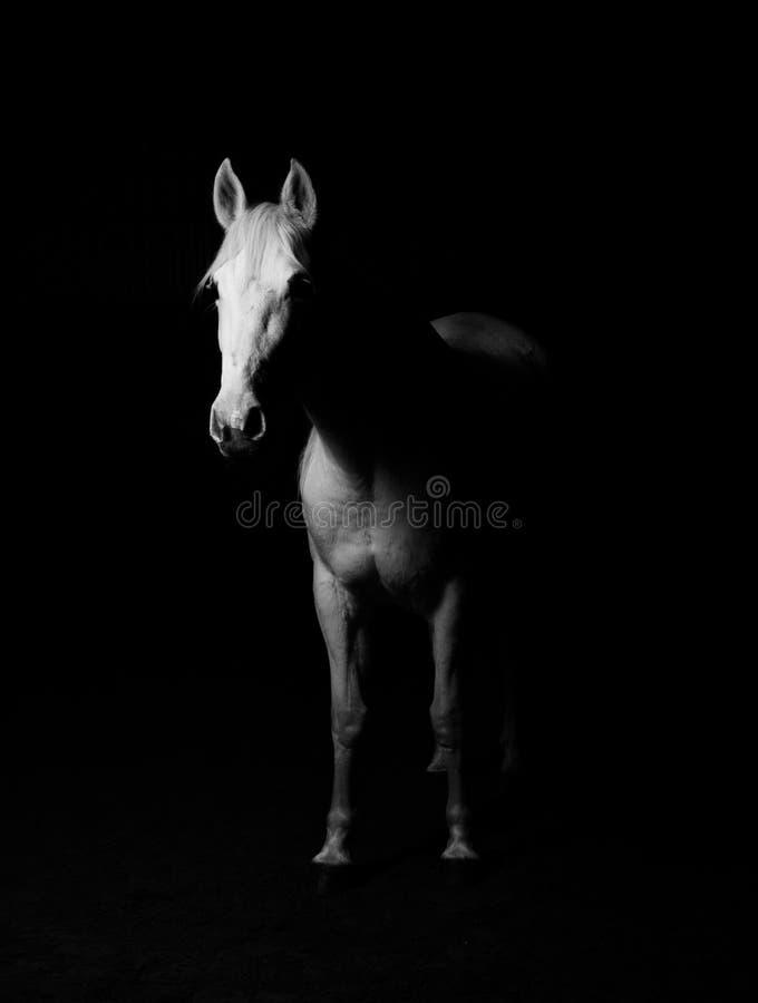 White Horse Black and White Photo royalty free stock photo